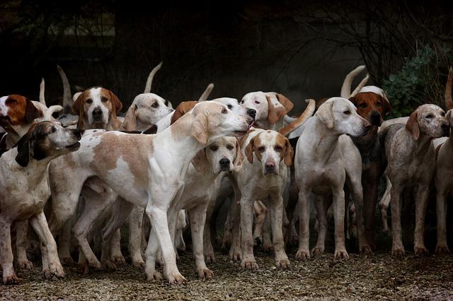 meute chiens de chasse